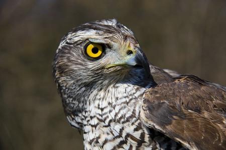Head of a Northern goshawk (Accipiter gentilis) Stock Photo