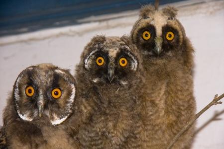 Young long-eared owls (Asio otus)