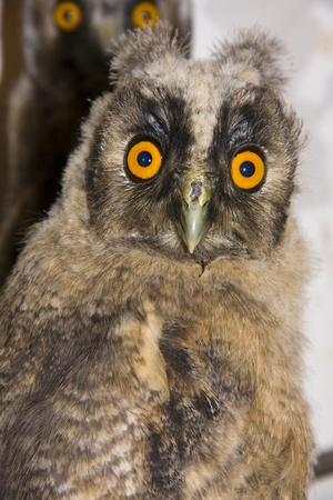 Young long-eared owl (Asio otus) Stock Photo