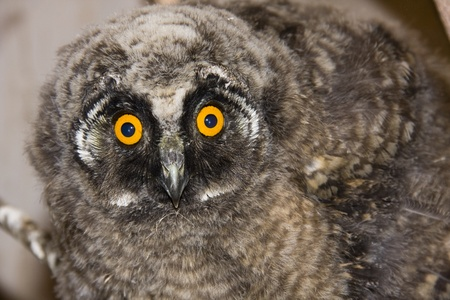 Young long-eared owl (Asio otus) photo