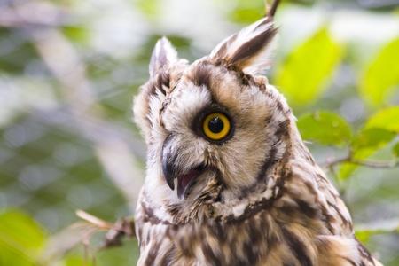 Long-eared owl (Asio otus) Stock Photo - 11762719