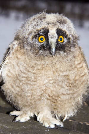 Long-eared owl (Asio otus) chick photo