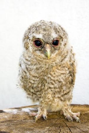 Very young long-eared owl (Asio otus) Stock Photo - 11762722