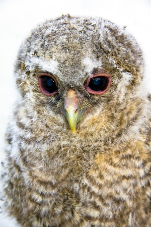 Very young long-eared owl (Asio otus) photo