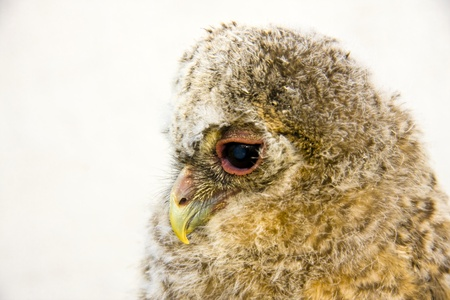 Very young long-eared owl (Asio otus)