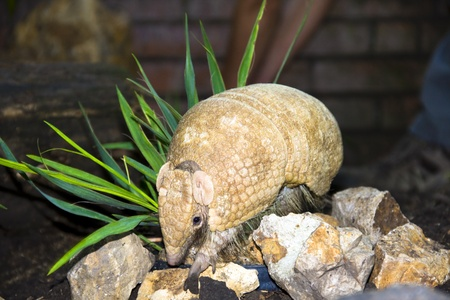Southern Three-banded Armadillo (Tolypeutes matacus) Stock Photo