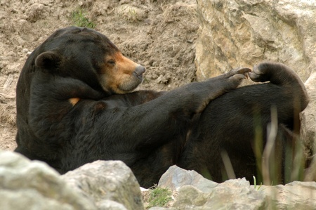 Malayan Sun bear (Helarctos malayanus) photo