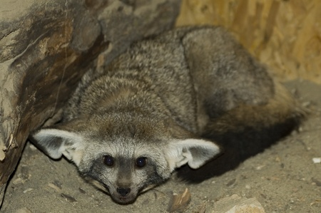 Bat-eared fox (Otocyon megalotis) Stock Photo - 11914692