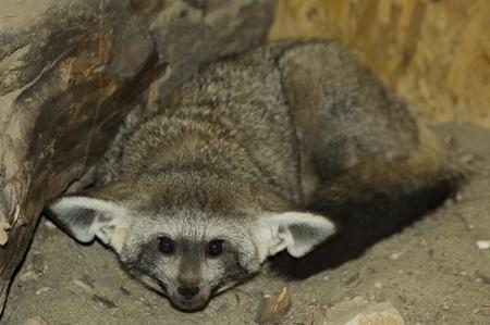 Bat-eared fox (Otocyon megalotis) Stock Photo - 11914692