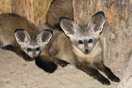 Young bat-eared foxes (Otocyon megalotis) photo