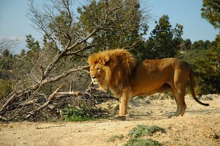 Male lion (Panthera leo) Stock Photo