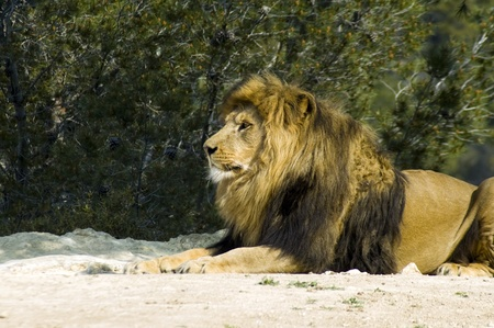 Male lion (Panthera leo) photo