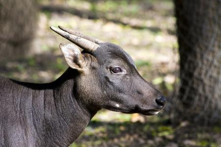 lowland: Lowland anoa or dwarf buffalo (Bubalus depressicornis) Stock Photo