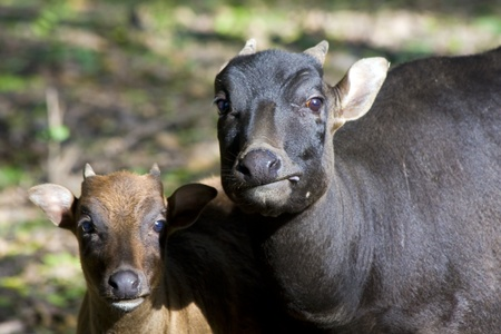 Young lowland anoa or dwarf buffalo (Bubalus depressicornis) and its mother