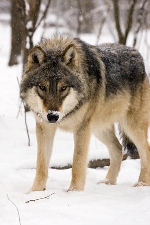 lobo feroz: Lobo gris (Canis lupus) en invierno Foto de archivo