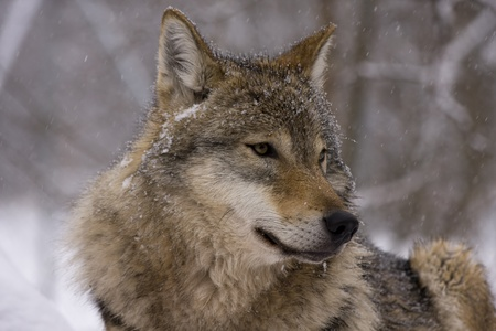 Gray wolf (Canis lupus) in winter Stock Photo