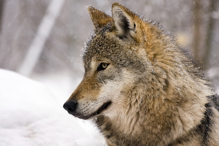 Lobo gris (Canis lupus) en invierno photo