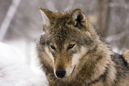 Gray wolf (Canis lupus) in winter Standard-Bild