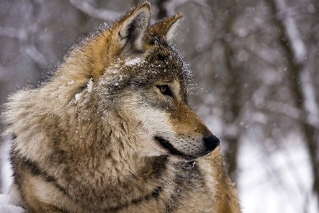 Grijze wolf (Canis lupus) in de winter