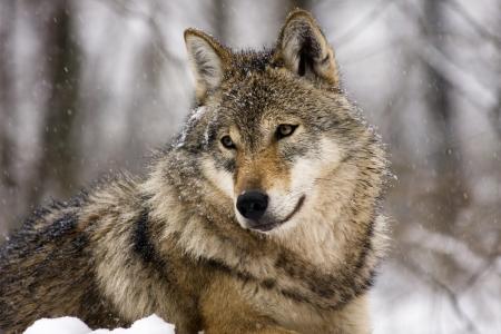 lobo: Lobo gris (Canis lupus) en invierno Foto de archivo