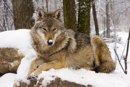 royalty free photo: Gray wolf (Canis lupus) in winter Stock Photo