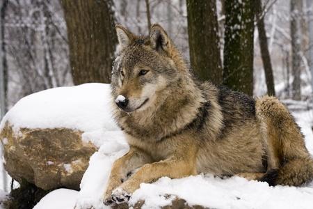 Gray wolf (Canis lupus) in winter Zdjęcie Seryjne