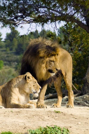 Lion and lioness (Panthera leo) Stock Photo