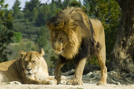Lion and lioness (Panthera leo) photo