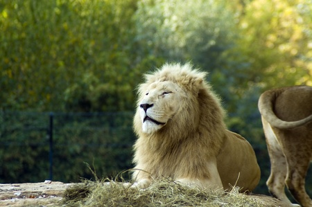 ホワイト ライオン (パンテーラ レオ krugeri) 写真素材 - 12236277
