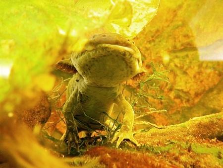 Axolotl  Ambystoma mexicanum  Zdjęcie Seryjne