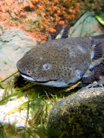 Axolotl  Ambystoma mexicanum  Stock Photo