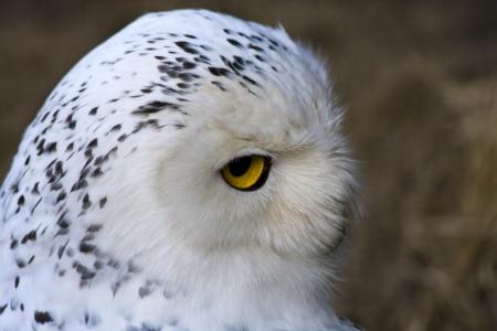 snowy owl: Head of a female snowy owl  Bubo scandiacus