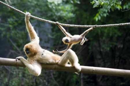 gibbon: Yellow-cheeked gibbon (Nomascus gabriellae) mother and baby
