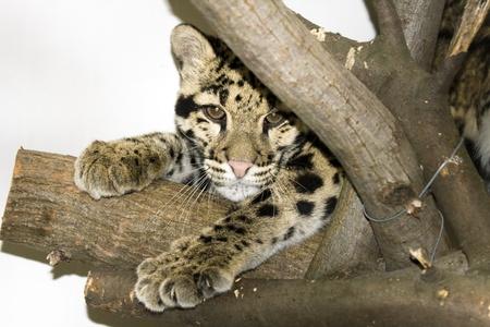 clouded: Clouded leopard (Neofelis nebulosa)