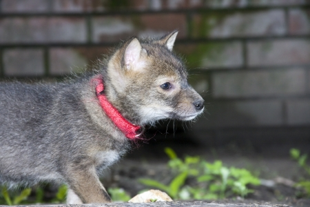 Golden jackal  Canis aureus  pup Stock Photo - 13998134