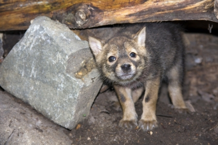 canis: Golden jackal  Canis aureus  pup Stock Photo