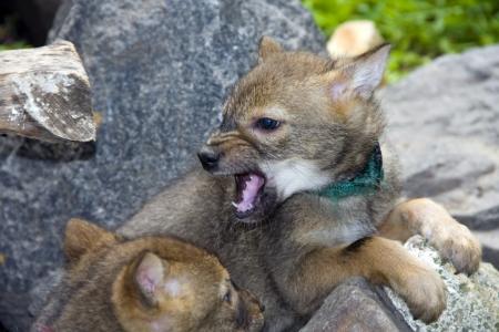 Golden jackal  Canis aureus  pup photo