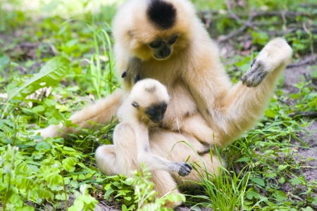 Yellow-cheeked gibbon (Nomascus gabriellae) baby and mother photo