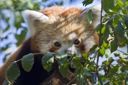 Red panda o panda menor Ailurus fulgens Foto de archivo - 17310272