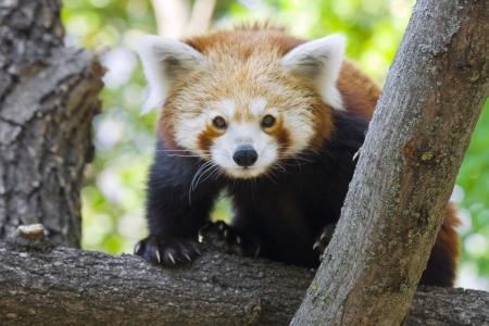 lesser: Red panda or Lesser panda  Ailurus fulgens