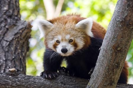 Red panda or Lesser panda  Ailurus fulgens  photo