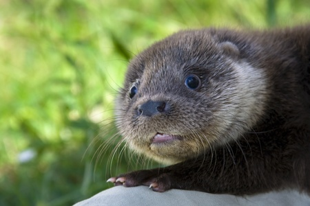 An orphaned European otter  Lutra lutra lutra  in a wildlife rescue center