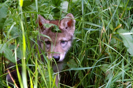 European grey wolf  Canis lupus  puppy in grass Stock Photo