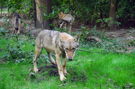 canid: A young European grey wolf  Canis lupus