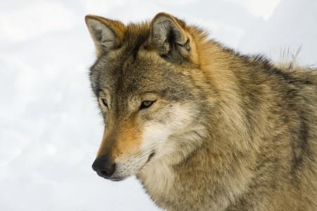 lupus: European gray wolf  Canis lupus lupus  in winter