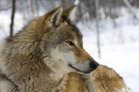 canis: European gray wolf  Canis lupus lupus  in winter