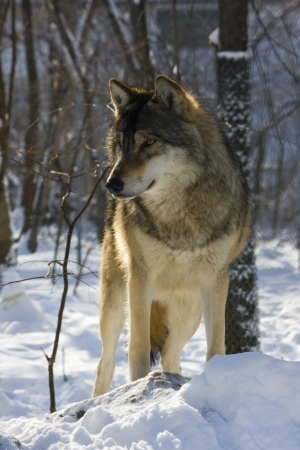 canid: European gray wolf  Canis lupus lupus  in winter