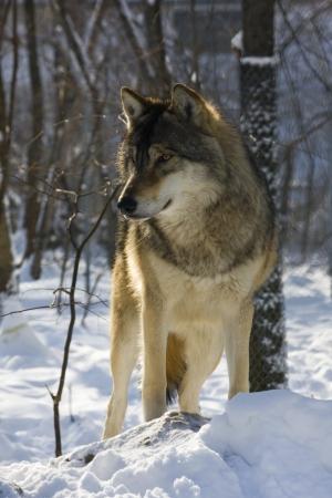 European gray wolf  Canis lupus lupus  in winter