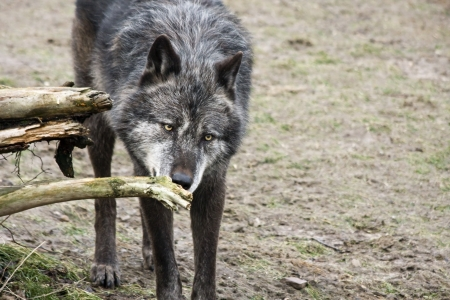 lupus: Timber wolf  Canis lupus  Stock Photo