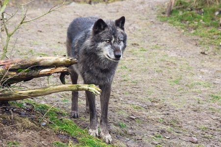 canid: Timber wolf  Canis lupus  Stock Photo